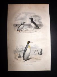 Buffon 1849 Hand Col Bird Print. Puffin, Penguins
